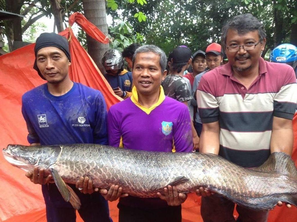 BKSDA Kaji Penerapan UU Perikanan untuk Pelepas Ikan Arapaima
