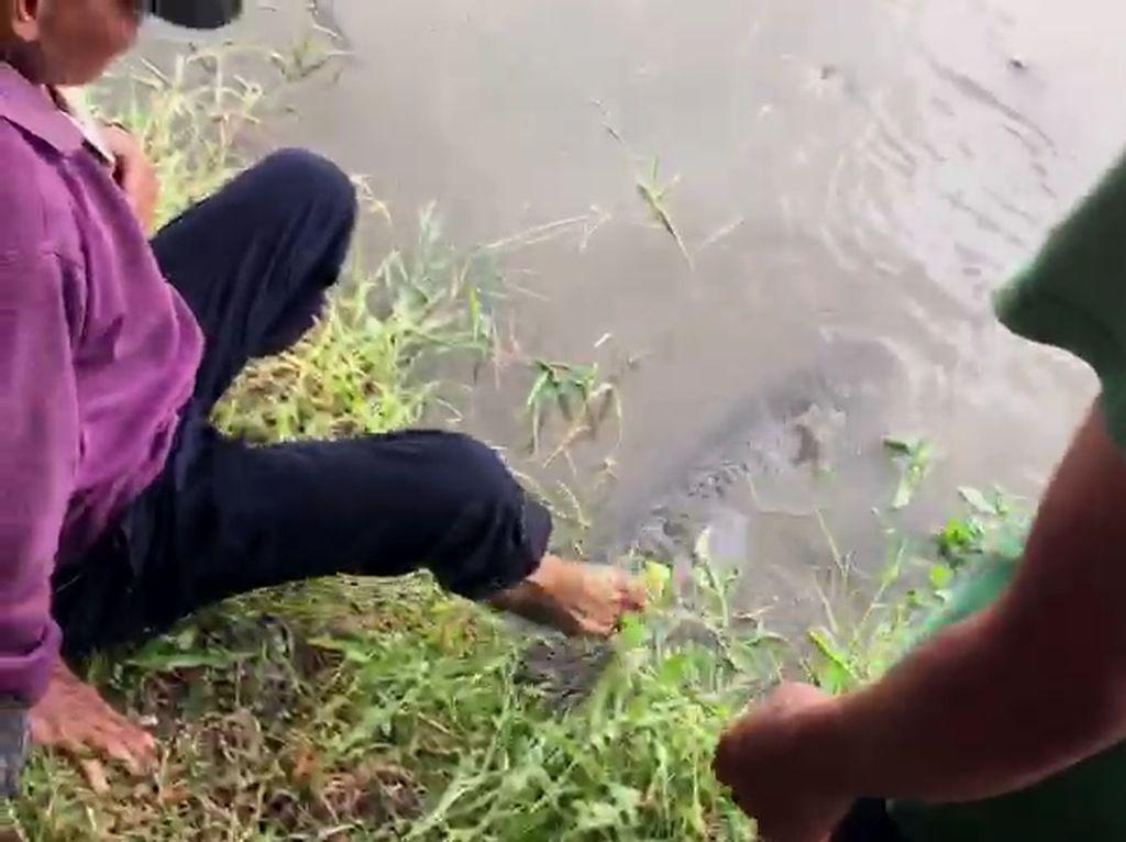 Video Pelepasan Ikan Arapaima di Sungai Brantas