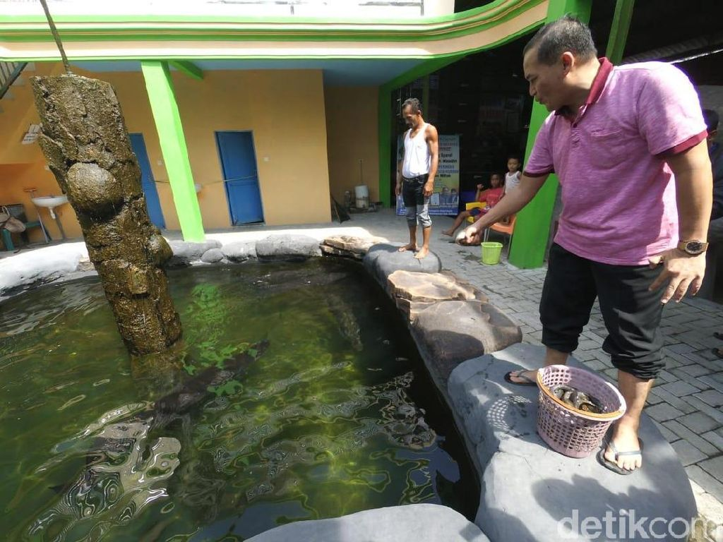 Cerita Masudin, Kolektor Ikan Arapaima dari Jombang