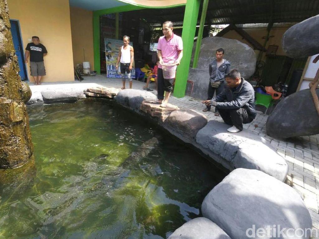 Ini Penampakan ikan Arapaima yang Dibeli Warga Jombang Rp 26 Juta