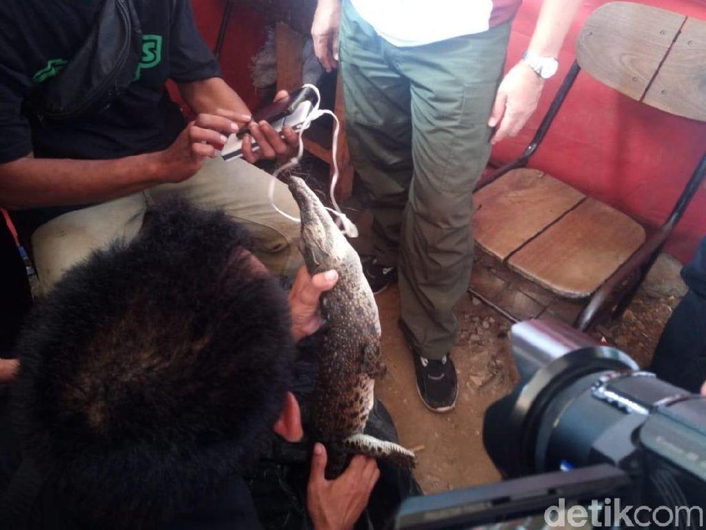 Ini Buaya 1 Meter yang Ditangkap di Roxy Jakarta