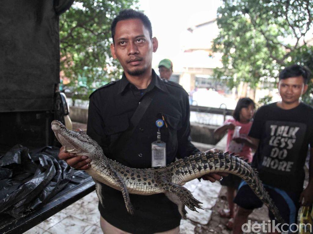 Buaya yang Bikin Heboh di Jakarta Ditangkap
