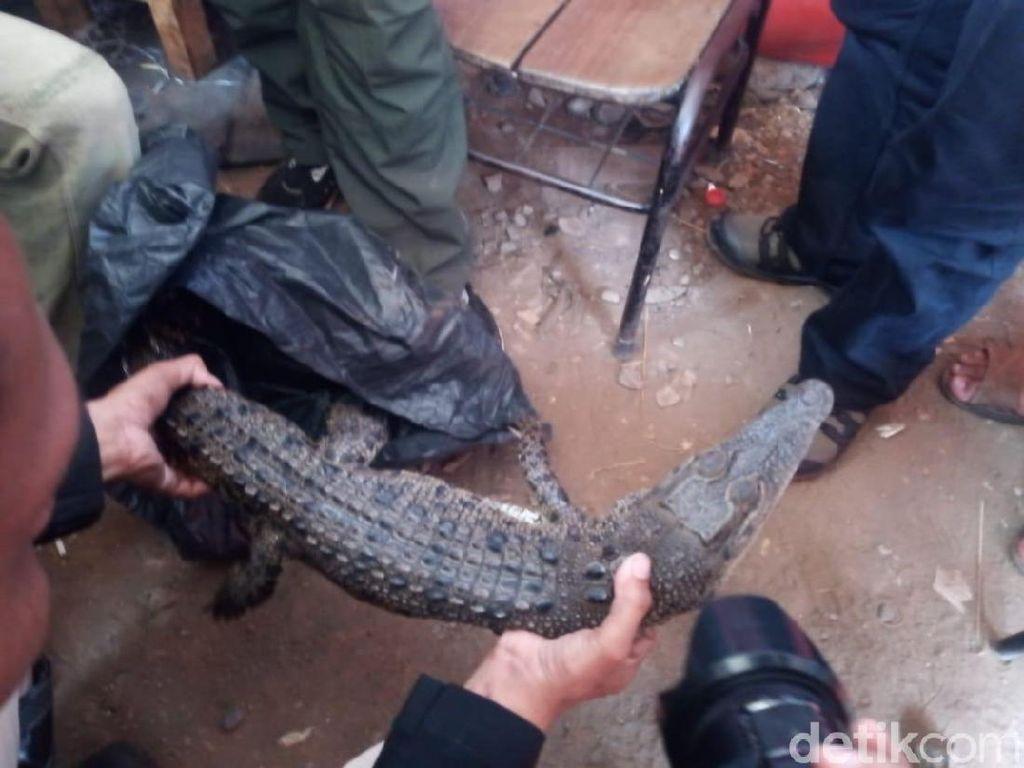 Buaya yang Ditangkap Sepanjang 1 Meter, Ditemukan di Wilayah Roxy