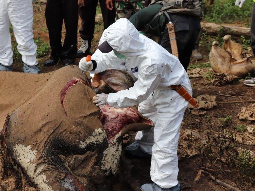 KLHK Selidiki Hilangnya Gading Gajah Betina di Bengkulu