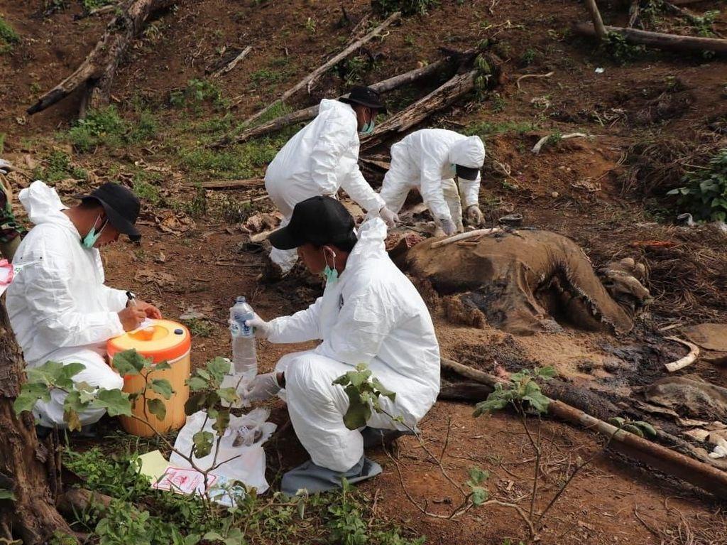 Gading hingga Belalai Gajah Betina yang Tewas di Bengkulu Hilang