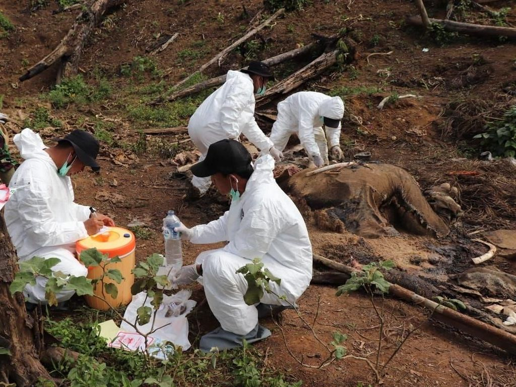 Potret Gajah Betina yang Mati Mengenaskan di Bengkulu