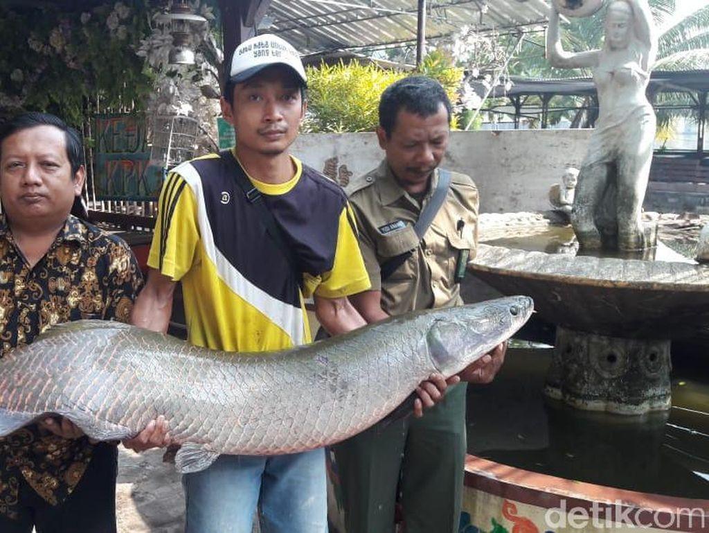 Arapaima Tertangkap di Surabaya Dipotong, Dagingnya Dibagi ke Warga