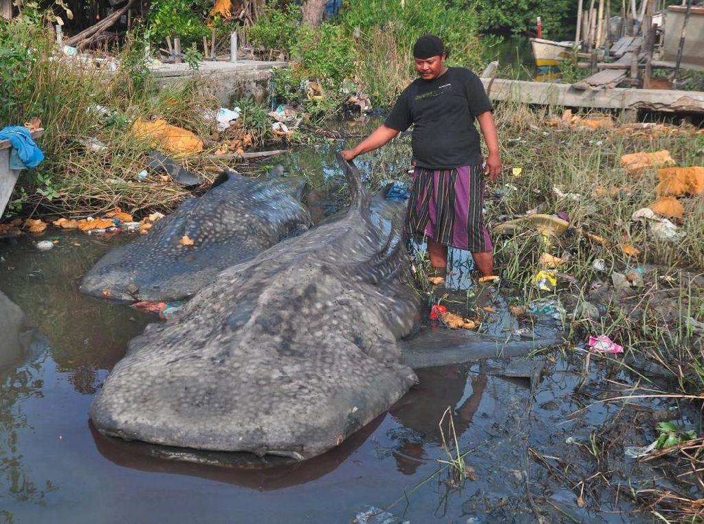 Dua Ekor Hiu Tutul Terdampar di Gresik, Ditarik 9 Perahu ke Tepi