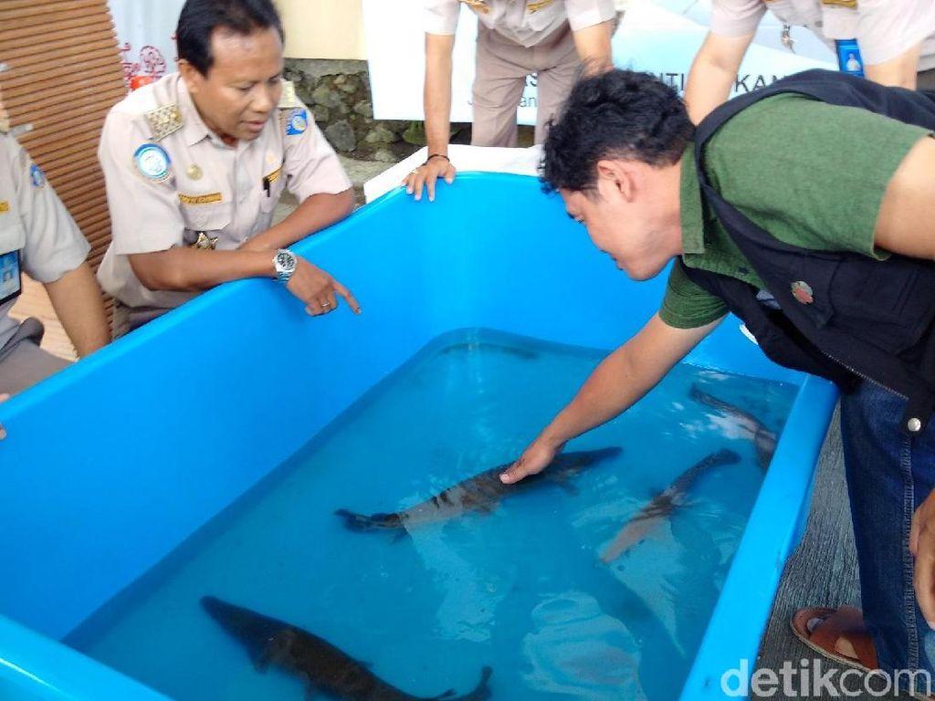 Warga di Yogya Serahkan Ikan Aligator ke BKIPM