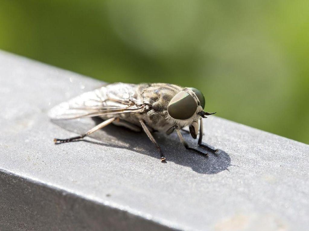 Ini yang Terjadi saat Lalat Hinggap di Makanan Kamu