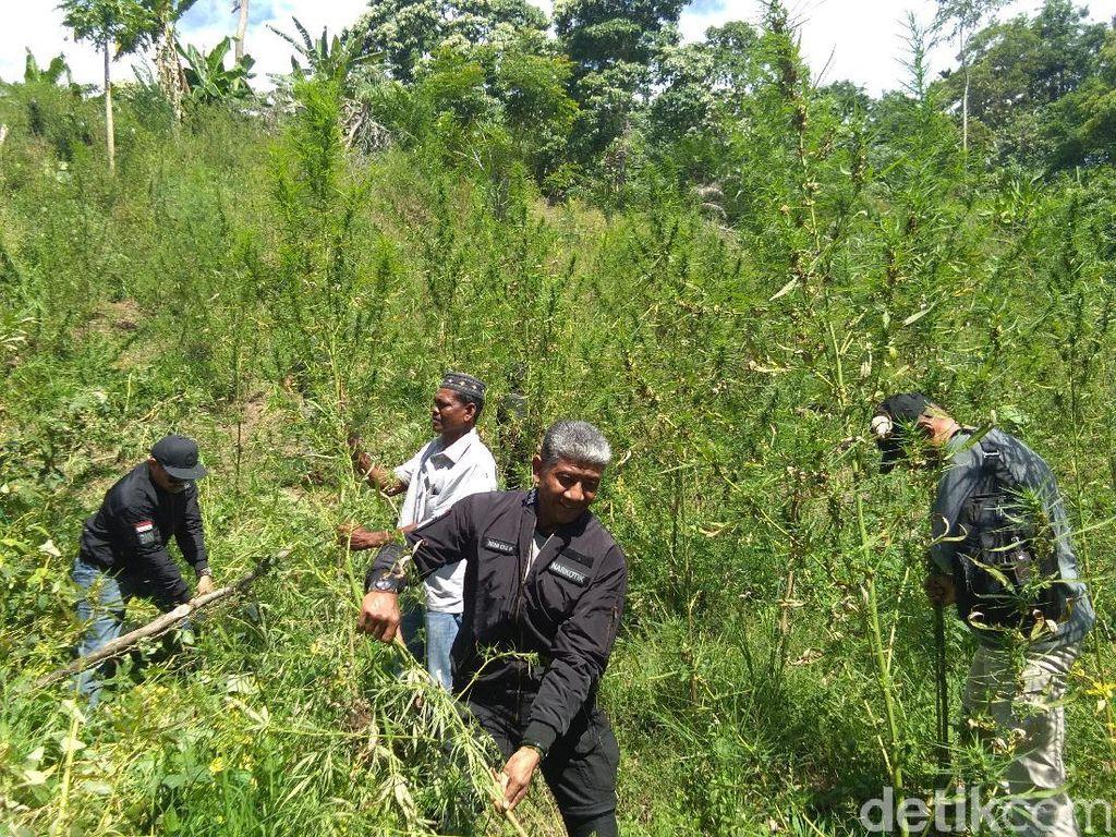 20 Hektare Ladang Ganja Diungkap di Aceh Sepanjang 2018