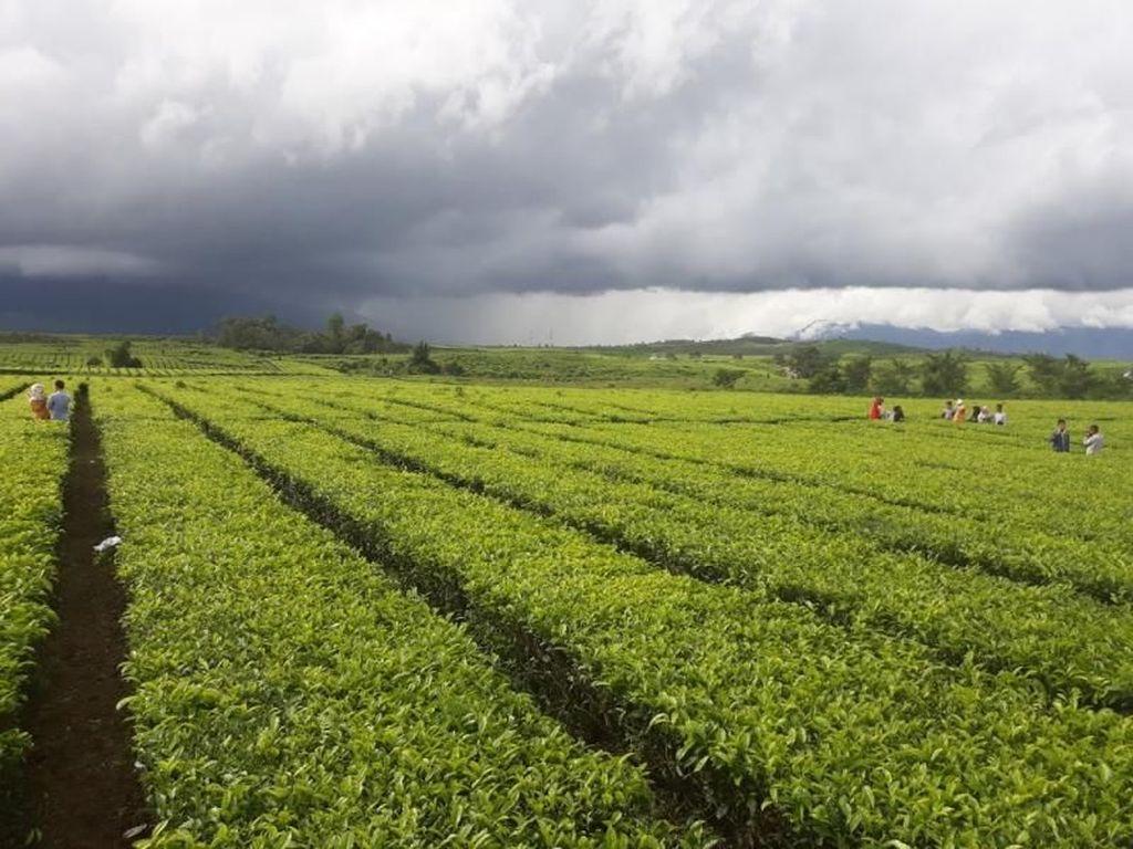 Jambi Punya Kebun Teh Tertua di Indonesia