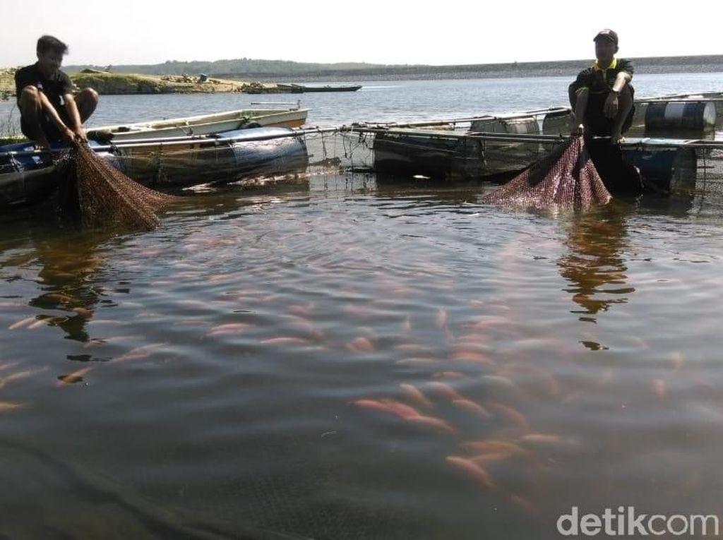 1 Ton Ikan di Waduk Kedung Ombo Sragen Mati Mendadak