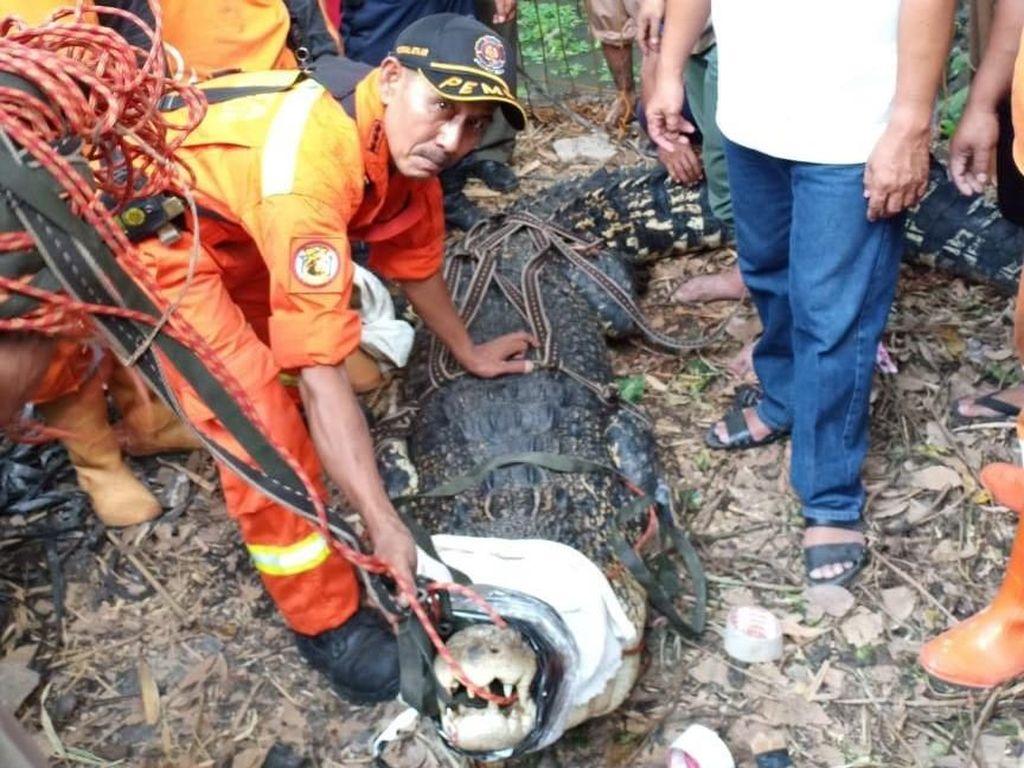 Foto: Ini Buaya 4,5 Meter yang Ditangkap di Bambu Apus