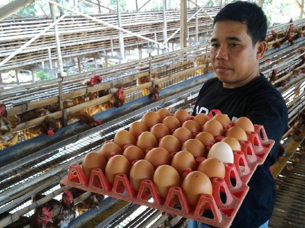 Peternak Ayam Petelur Antisipasi Imbas Harga Ayam Anjlok