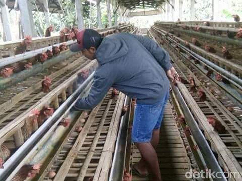 Harga Telur di Pasaran Melonjak, Ini Kata Peternak di Blitar
