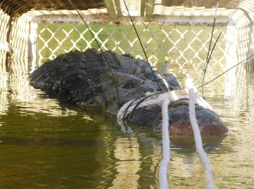 Buaya Raksasa Seberat 600 Kg Berhasil Ditangkap di Australia
