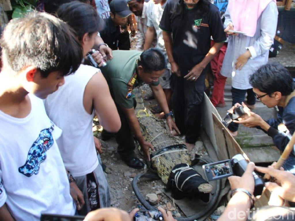 Tetes Air Mata Buaya Pon-pon Sebelum Dievakuasi BKSDA