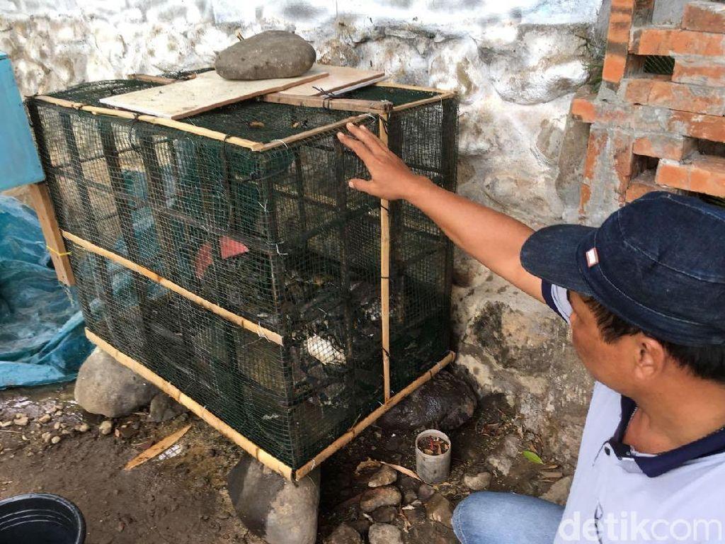 Ular-ular Pemangsa Ternak Dijual, Hasilnya Digunakan Untuk Ini