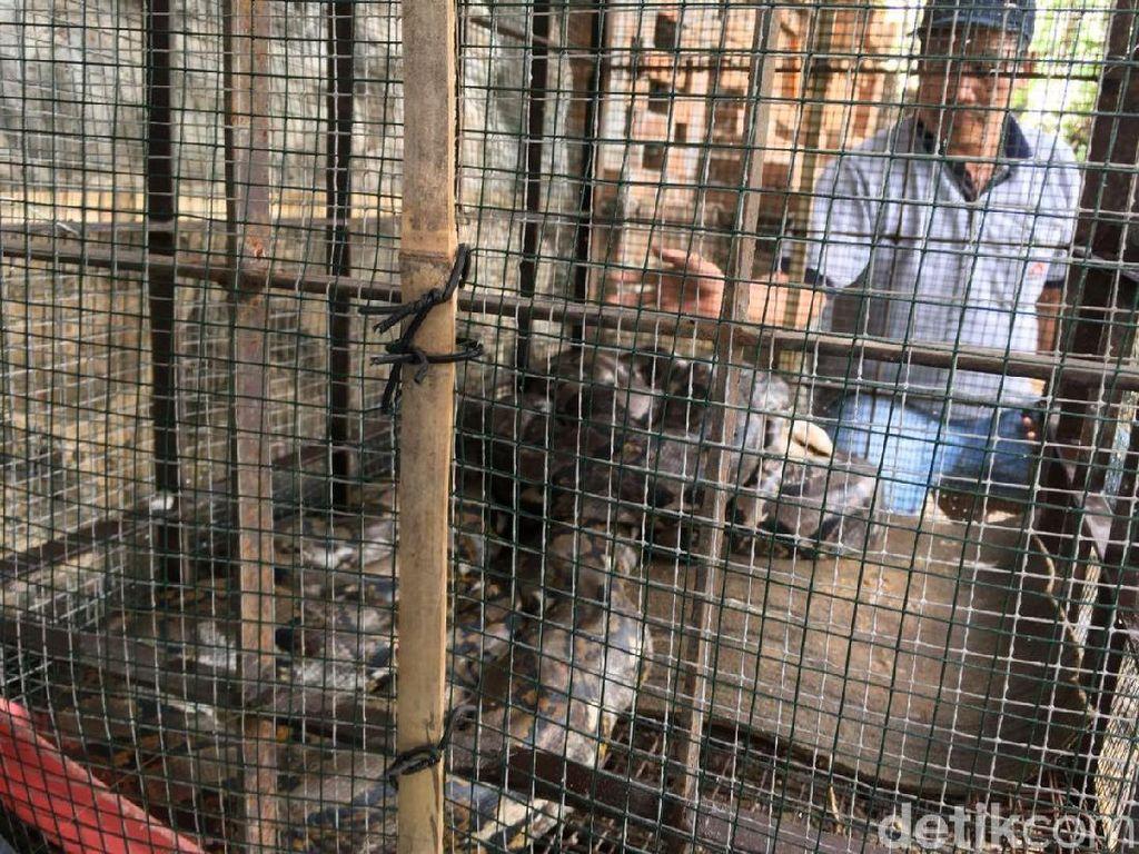 Kena Deh! 2 Ular Sanca Pemakan Ternak Warga Akhirnya Ditangkap