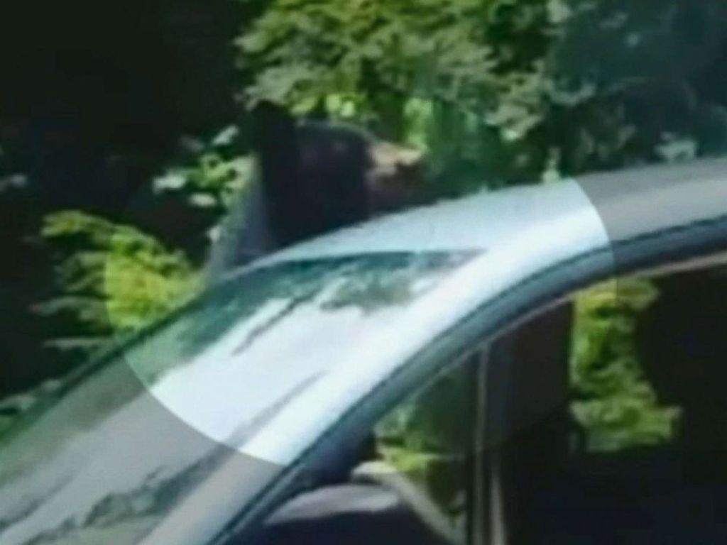 Ketahuan! Beruang Curi Makan Siang Perawat di Mobil