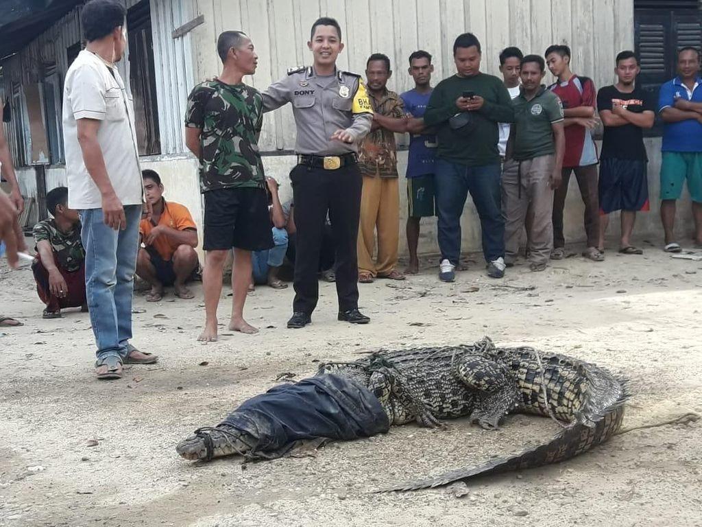Buaya 3 Meter Ditangkap di Kebun Sawit Aceh