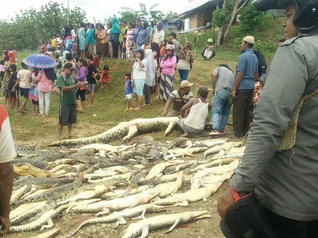 Penampakan 292 Ekor Buaya yang Dibantai di Sorong