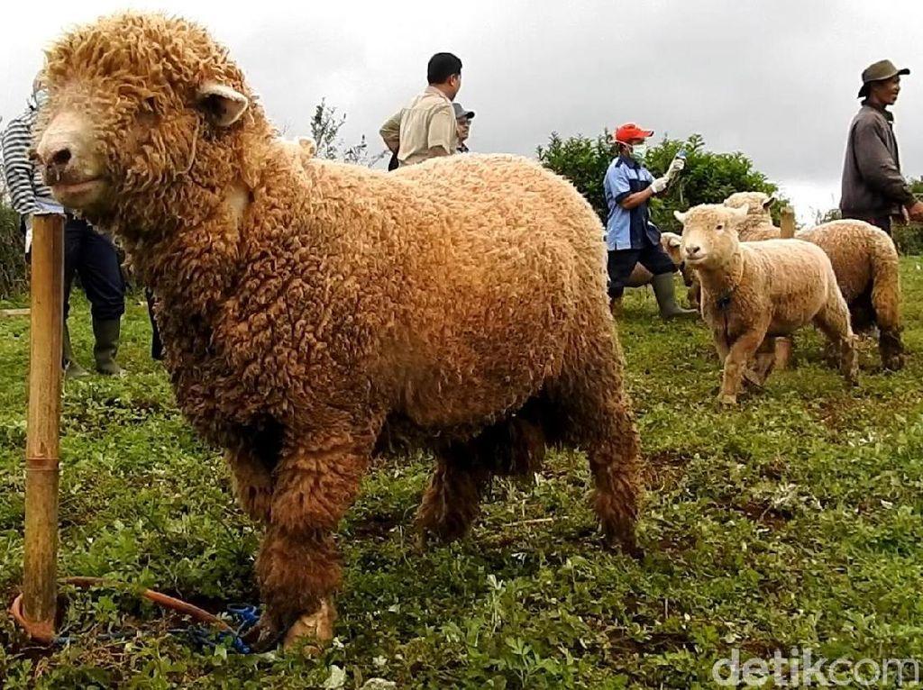 Domba-domba Unik Ini Bakal Ramaikan Dieng Culture Festival