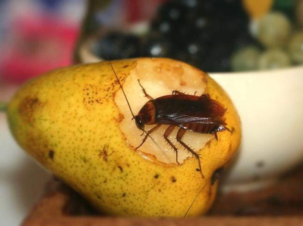 China Mulai Lirik Industri Kecoa untuk Kebutuhan Pangan dan Obat