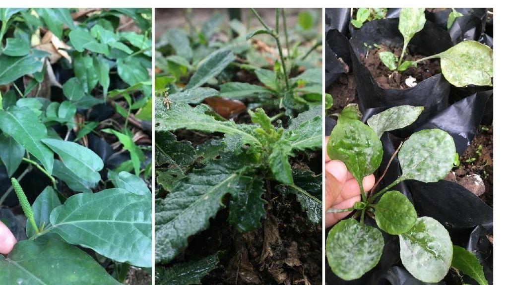 Foto: Ragam Tanaman Herbal yang Bisa Mencegah Penyakit