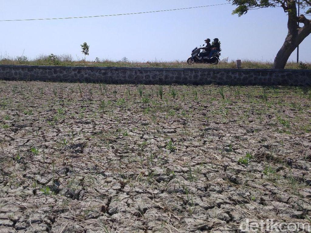 Kekeringan Melanda Garut, Ratusan Hektare Sawah Terancam Puso