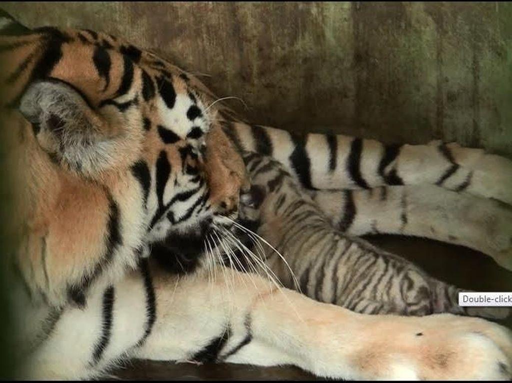 Avatar-Wesa Lahirkan 2 Harimau Benggala di Medan Zoo