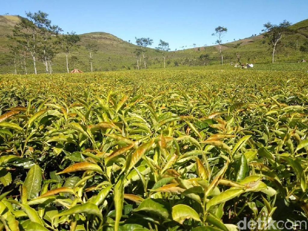 Pengusaha Keluhkan Luas Kebun Teh dan Produksi yang Terus Turun