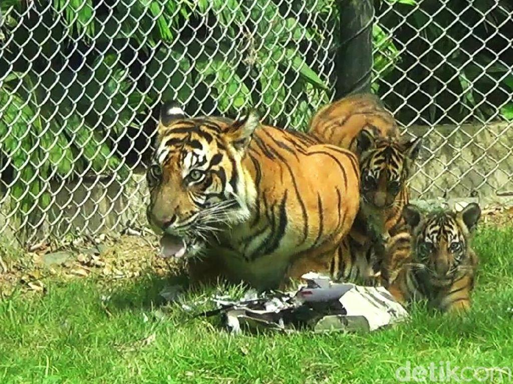 Gemasnya Trio Macan, Penghuni Baru Bali Zoo
