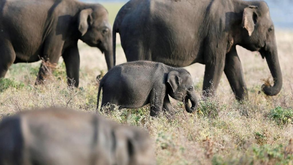 Taman Nasional Kaudulla, Tempat Gathering Gajah di Sri Lanka