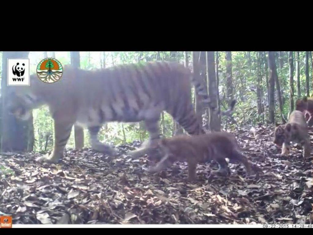 Penampakan Harimau Liar di Hutan Sumatera Main dengan Anaknya