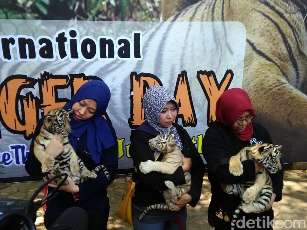 Menengok 3 Bayi Harimau Benggala yang Lahir di Semarang Zoo