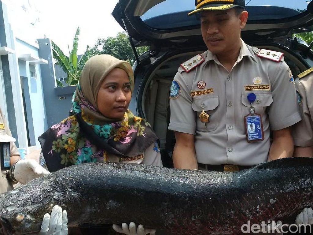 36 Ikan Terlarang Diamankan di Jateng, Ada Arapaima dan Piranha