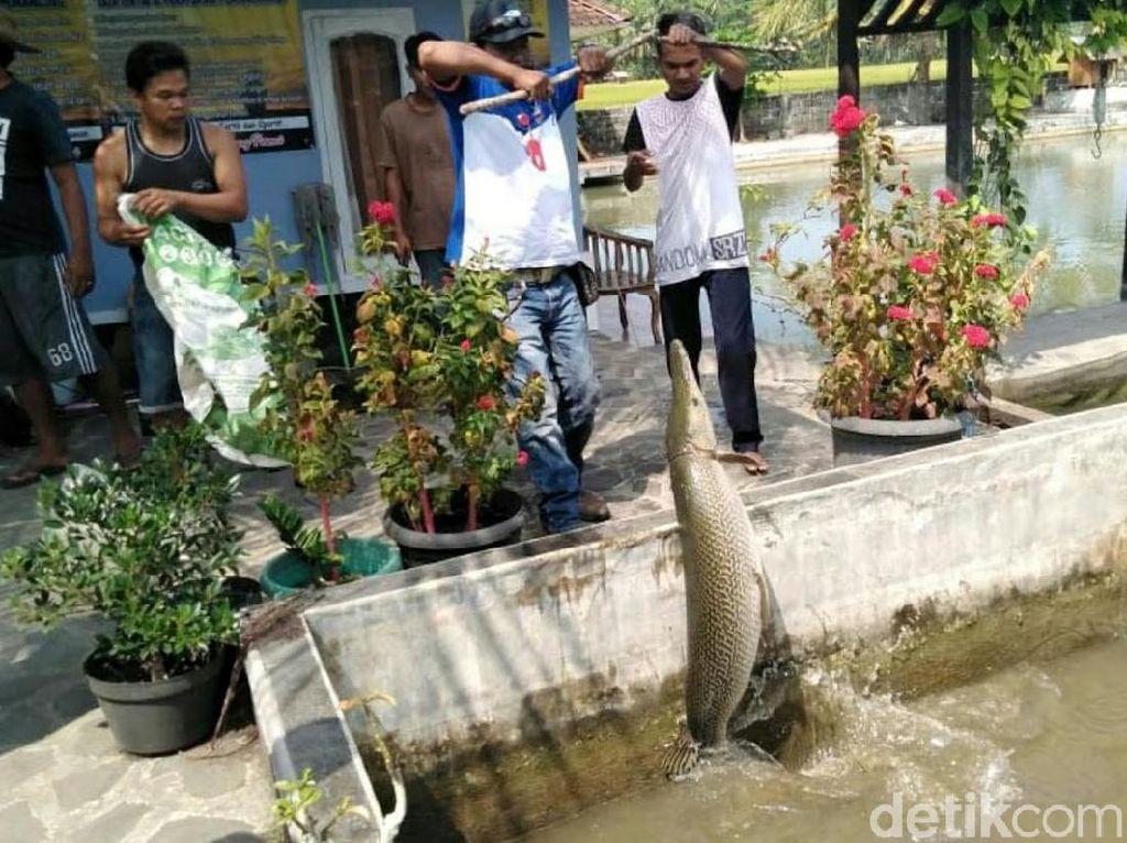 Cerita Pemilik Ikan Aligator di Pangandaran yang akan Dimusnahkan