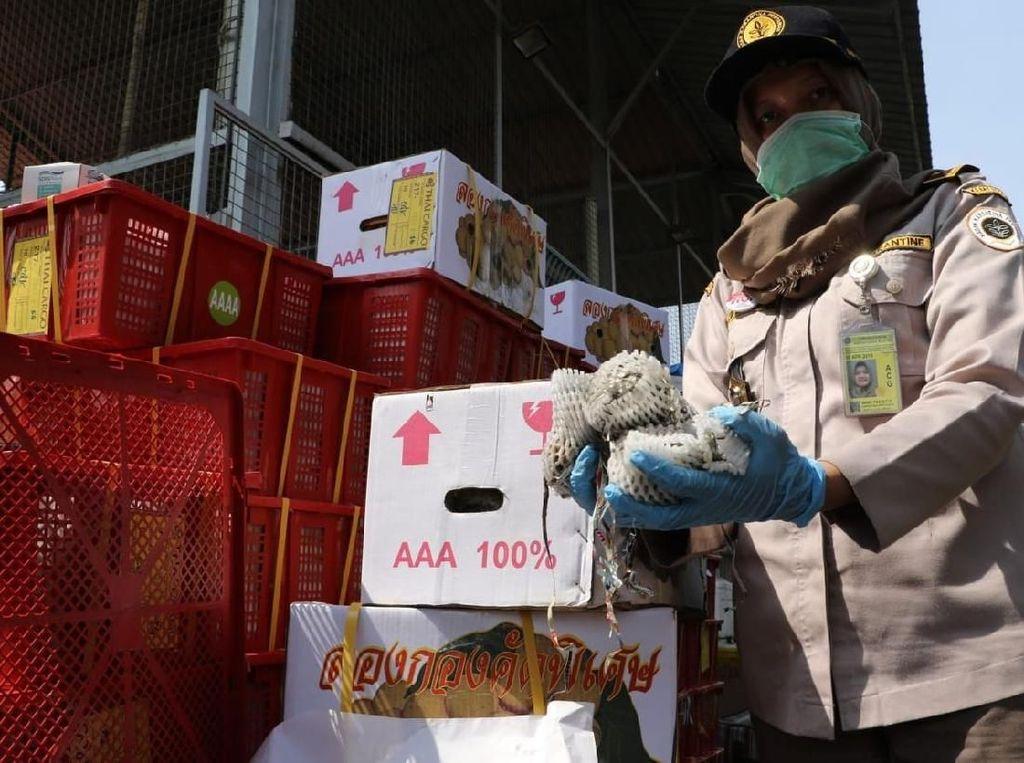 Terinfeksi Larva, 900 Kg Buah Impor Asal Thailand Dimusnahkan