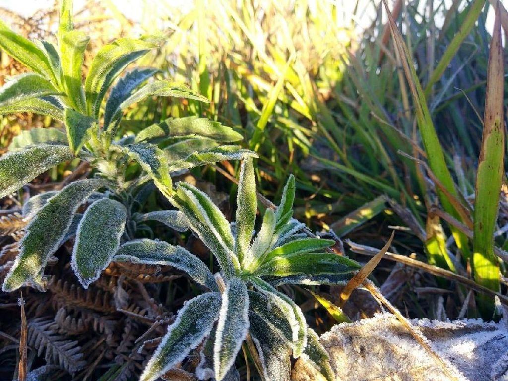 Brrr.....Kawasan Bromo Membeku, Embun Salju Selimuti Dedaunan