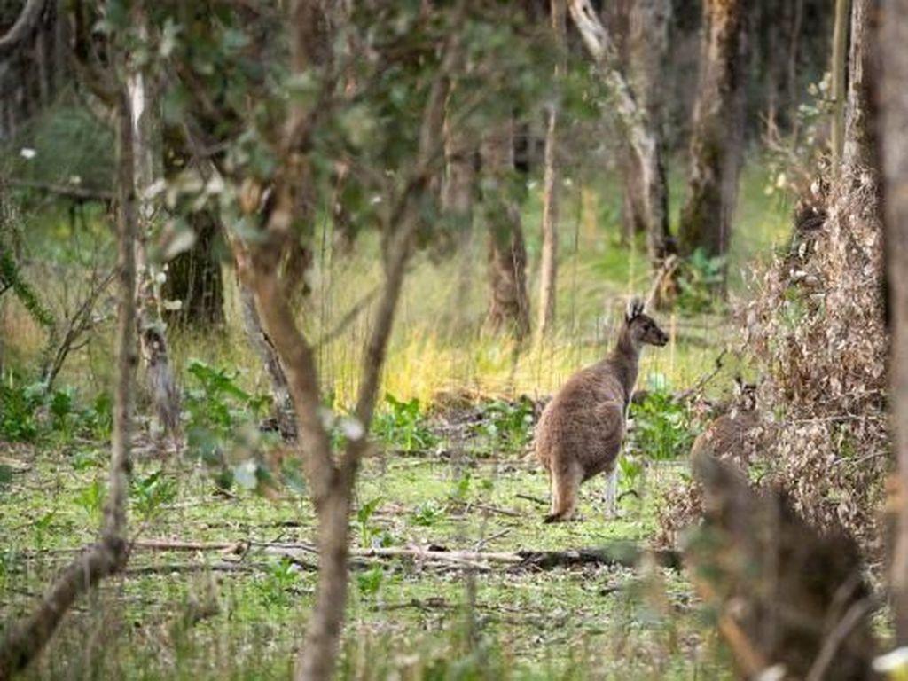 Seribu Kanguru Liar di Tasmania Terancam Dimusnahkan