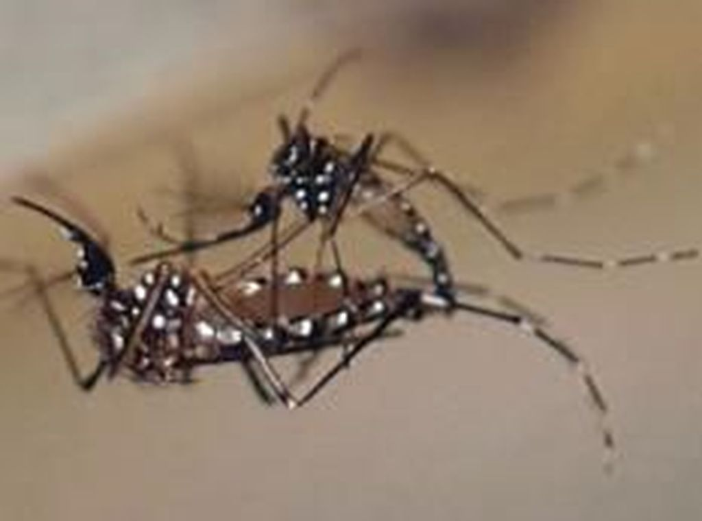 Kenalkan OX513A, Nyamuk Mutan Baik yang Membawa Gen Bakteri dan Virus