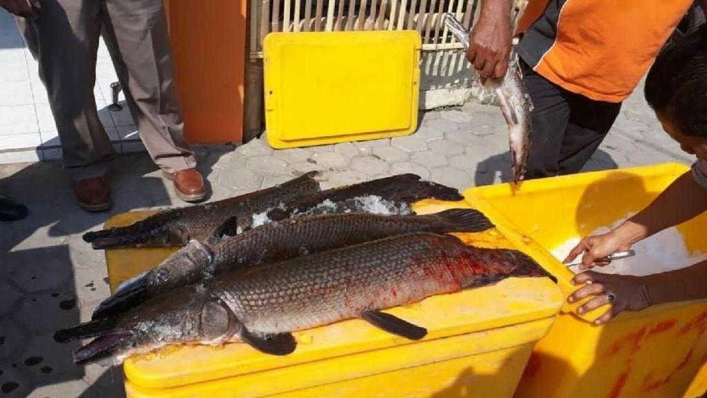 Karena Berbahaya, 18 Ekor Ikan Aligator Dimusnahkan