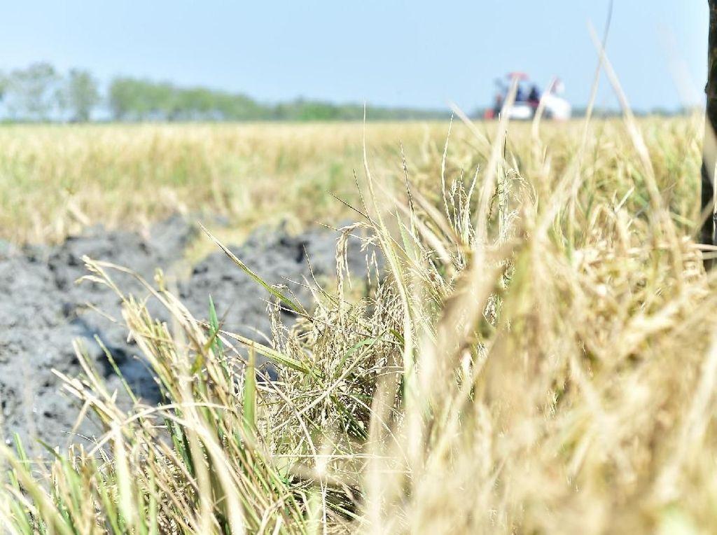 Produksi Padi Berkurang Akibat Faktor Cuaca dan Musim Tanam