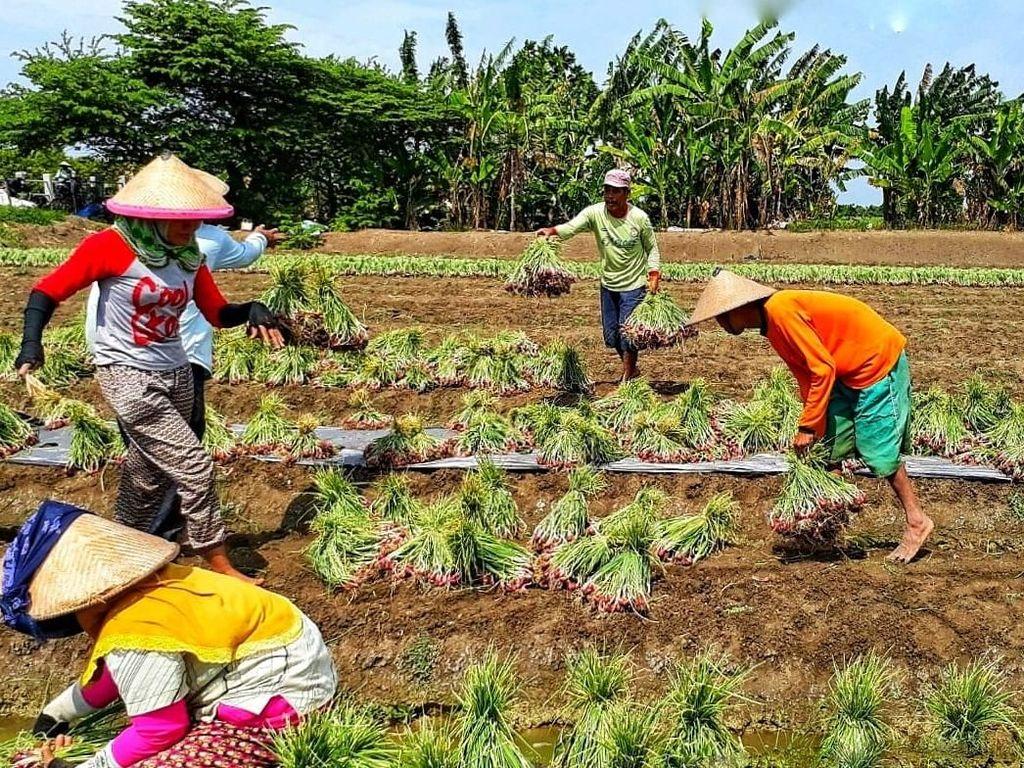 Kementan Targetkan Ekspor 15 Ribu Ton Bawang Merah Tahun ini