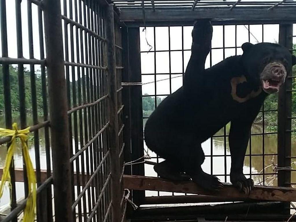 Pasutri di Riau Diserang Beruang Liar Saat Sadap Karet