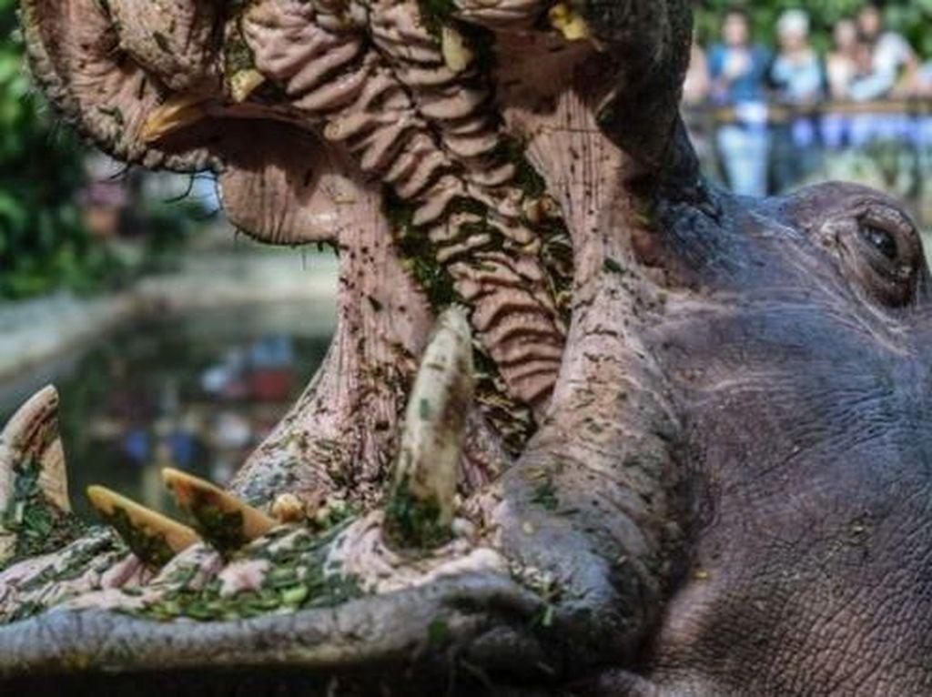 Turis Asal China Tewas Digigit Kuda Nil di Kenya