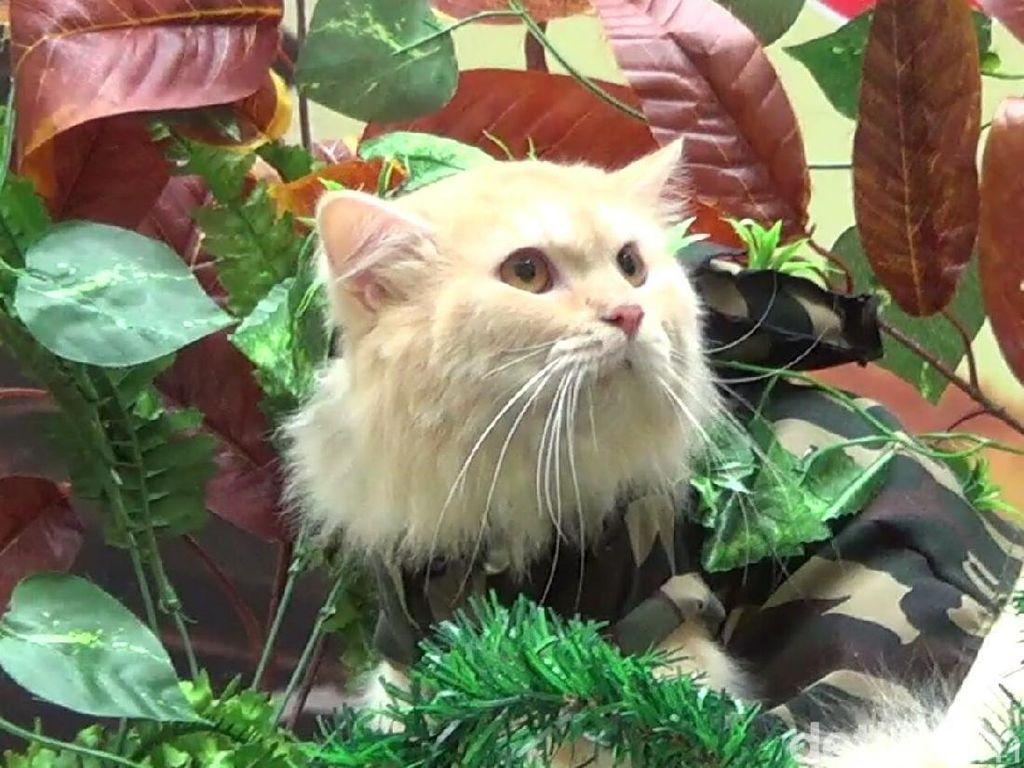 Rayakan Hari Kemerdekaan, Kucing di Bali Jadi Tentara