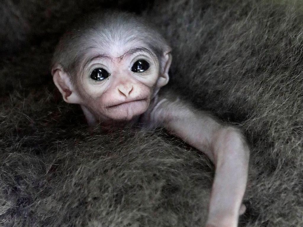 Potret Gemas Bayi Owa Jawa di Kebun Binatang Praha